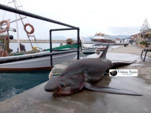 Ψάρι τεσσάρων μέτρων και 250+κιλών πιάστηκε σε δίχτυα ψαράδων στην Σάμη Κεφαλονιάς.